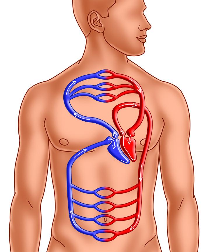 Das Herz - Wie funktioniert es?